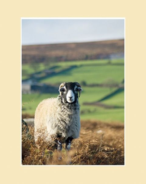 Swale on the Moor Swaledale Sheep Print